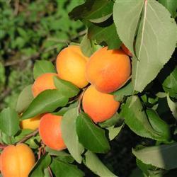 Prunus armeniaca 'Compacta'®