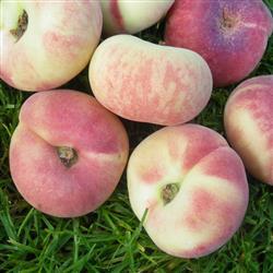 Prunus persica 'Platifortwo'®